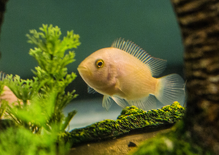 Electric blue jack dempsey 39 s for sale for Jack dempsy fish